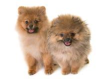 Собака щенят pomeranian Стоковое Изображение