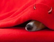 Собака дьявола спать на хеллоуин Стоковые Фотографии RF