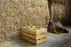собака яблок Стоковое Фото