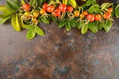 собака ягоды подняла Стоковое Фото
