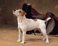 Собака Джека Рассела Стоковое Изображение