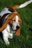 собака 2 beagle Стоковые Фотографии RF