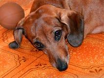 Собака Стоковые Фото