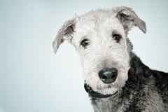 Собака Airedale Стоковое фото RF