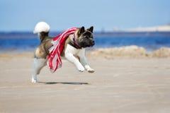 Собака akita американца играя на пляже Стоковые Изображения RF