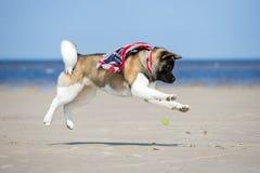 Собака akita американца играя на пляже Стоковое Фото