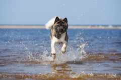 Собака akita американца играя на пляже Стоковые Изображения