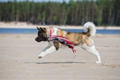 Собака akita американца играя на пляже Стоковая Фотография