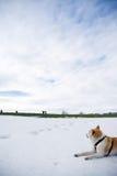собака akita hiking смотрящ снежок людей Стоковое Изображение RF