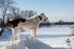 Собака Alabai стоковые изображения rf