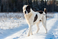 Собака Alabai стоковое фото rf