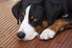 Собака Appenzeller лежа вниз Стоковые Изображения