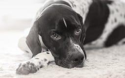 Собака B&W указателя Стоковое Фото