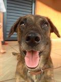 Собака Bartholomeu стоковая фотография rf