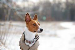 Собака Basenji идет в поле Зима нет много снега на t Стоковая Фотография