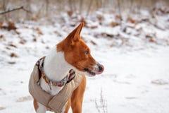 Собака Basenji идет в поле Зима нет много снега на t Стоковое фото RF