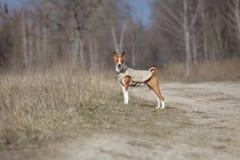 Собака Basenji идя в парк прогулка весны пущи дня слободская Стоковое фото RF