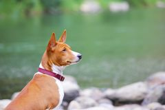 Собака Basenji на реке Чистоплеменная шикарная собака Стоковые Изображения