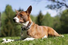 Собака Basenji на траве внешней Стоковое Изображение