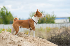 Собака Basenji смотря в расстояние Стоковое Изображение