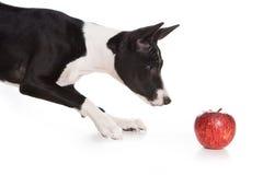собака basenji Стоковые Изображения RF