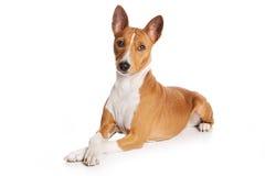 собака basenji Стоковые Фото