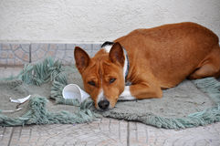 Собака Basenji Стоковая Фотография RF