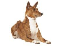 Собака Basenji Стоковые Изображения