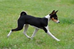 собака basenji tricolour Стоковые Изображения