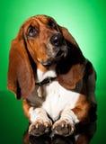 собака basset любознательная Стоковые Фотографии RF