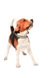 Собака Beagle действуя в свете белом b студии Стоковое фото RF