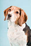 собака beagle милая Стоковое Изображение