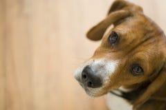 собака beagle милая Стоковые Изображения RF