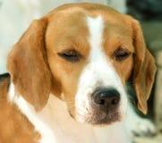 собака beagle унылая Стоковые Фото