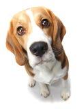 собака beagle Стоковое Изображение