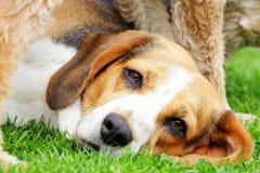 собака beagle Стоковые Фото