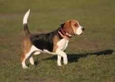 собака beagle Стоковое Фото