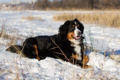 Собака Bernese внешняя Стоковые Фото