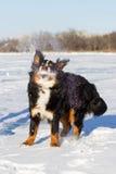 Собака Bernese Стоковые Изображения