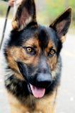 Собака Beuutiful Стоковая Фотография