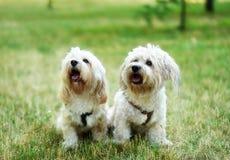 Собака Bichon bolognese внутри geen Стоковое Изображение