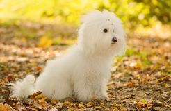 Собака Bichon bolognese ослабляет в парке Стоковое фото RF
