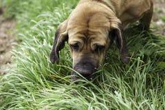 Собака Bloodhound есть траву Стоковое Фото