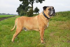 Собака Boerboel Стоковые Изображения RF