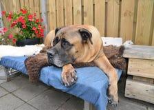 Собака Boerboel Стоковая Фотография