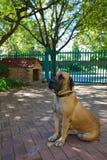 собака boerbull boerboel Стоковая Фотография RF
