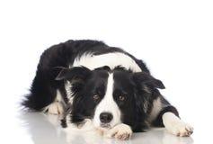 Собака Bordercollie стоковые изображения