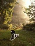 собака braque d auvergne Стоковое Изображение