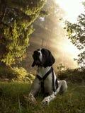 собака braque d auvergne Стоковое Изображение RF