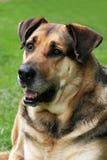 собака breed смешала Стоковая Фотография